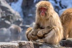 Rotes Gesichts-Schnee-Affe und Kind Stockfotografie