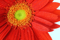 Rotes Gänseblümchen - mit Tropfenwasser Stockbild