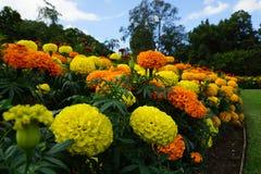 Rotes Goldringelblumen-Blumengartenbett stockbilder