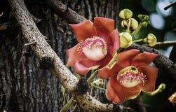 Rotes Grün des rotbraunen Baums der Kanonenkugelblume Lizenzfreie Stockfotografie