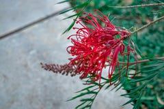 Rotes Grevillea Banksii stockbild