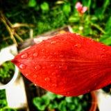 Rotes großes Blumenblatt nach einem Sommerregen Stockfotografie