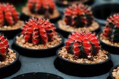 Rotes Gymnocalycium mihanovichii Das Hobby, das mit vielen des Sprösslingskaktus im Kindertagesstättengarten für Verkauf im Garte Stockbild
