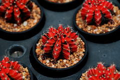 Rotes Gymnocalycium mihanovichii Das Hobby, das mit vielen des Sprösslingskaktus im Kindertagesstättengarten für Verkauf im Garte Lizenzfreies Stockbild