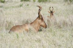 Rotes Hartebeest, Addo Elephant National Park Lizenzfreies Stockfoto
