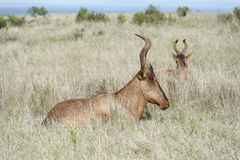 Rotes Hartebeest, Addo Elephant National Park Stockfotografie