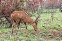 Rotes hartebeest: Alcelaphus buselaphus caama Stockfoto
