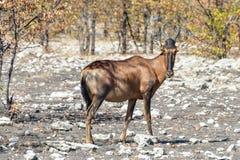 Rotes hartebeest - Etosha, Namibia Stockfotos