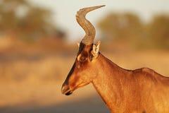 Rotes hartebeest Porträt - Kalahari-Wüste Stockfotografie