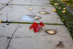 Rotes herbstblatt im Park auf dem Boden. Rotes gefallenes Ahornblatt im Park auf dem Boden stock image