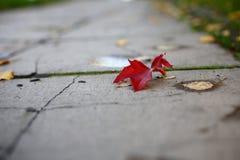 Rotes herbstblatt im Park auf dem Boden. Rotes gefallenes Ahornblatt im Park auf dem Bodennn royalty free stock image