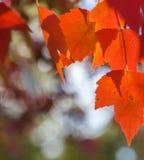 Rotes Herbstlaubglühen Stockfotos