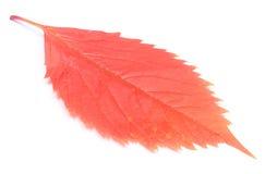 Rotes herbstliches Blatt auf Weiß Stockbild