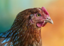Rotes Huhn im Profil Stockfoto