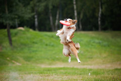 Rotes Hundeabfangen des Frisbee Stockfotografie
