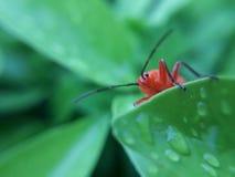 Rotes Insekt Stockfotografie