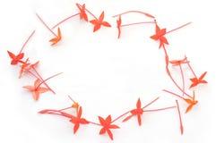 Rotes Ixora Blumen-Fotofeld stockfotos