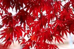 Rotes japanesemaple Lizenzfreies Stockfoto