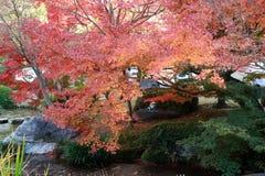 Rotes japanisches Ahornblatt auf Niederlassung des Baums im Garten Stockbild