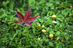 Rotes japanisches Ahornblatt gefallen auf grünen moosigen Boden während des autu Stockfotografie