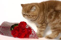 Rotes Kätzchen nahe bei einem Blumenstrauß von Rosen auf einem weißen Hintergrund stockfoto