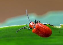 Rotes Käfer-Makro stockbilder
