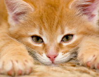 Rotes Kätzchen lizenzfreies stockfoto