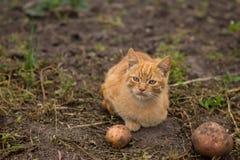 Rotes Kätzchen, das im Yard am Bauernhof spielt Stockbilder