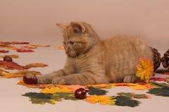 Rotes Kätzchen, das mit einer Edelkastanie spielt Stockfotografie