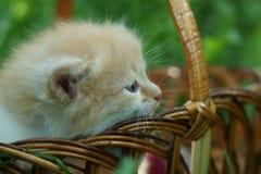 Rotes Kätzchen in einem Korb Stockbilder