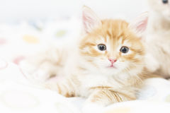 Rotes Kätzchen in einen farbigen Korb, sibirische Katze bei zwei Monaten Stockfotos