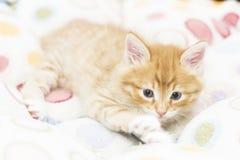 Rotes Kätzchen in einen farbigen Korb, sibirische Katze bei zwei Monaten Stockbild