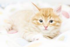 Rotes Kätzchen in einen farbigen Korb, sibirische Katze bei zwei Monaten Lizenzfreies Stockfoto