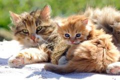 Rotes Kätzchen mit einer Katze Stockfoto