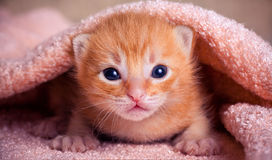 Rotes Kätzchen neugeboren Stockbilder