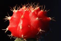 Rotes Kaktusbild lizenzfreie stockbilder