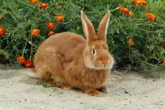 Rotes Kaninchen Stockbild