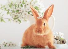 Rotes Kaninchen mit Ostereiern Lizenzfreies Stockbild
