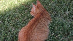 Rotes Katzengras auf dem Rasengarten neugierig stock video