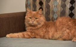 Rotes Katzenlügen stockfotografie