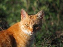 Rotes Katzenporträt stockfotos