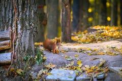 Rotes kleines Eichhörnchen im Waldherbst stockfoto