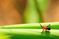 Rotes Kricket mit langer Antenne auf einem Stiel des Grases Lizenzfreie Stockbilder