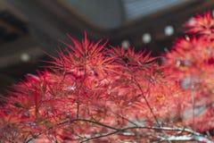 Rotes Laub des Herbstes von Acer-japonicum, auch genannt fernleaf Ahorn, den Amur-Ahorn, flaumigen Japanisch-Ahorn oder fullmoon  Stockfotografie