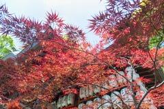 Rotes Laub des Herbstes von Acer-japonicum, auch genannt fernleaf Ahorn, den Amur-Ahorn, flaumigen Japanisch-Ahorn oder fullmoon  Stockfoto