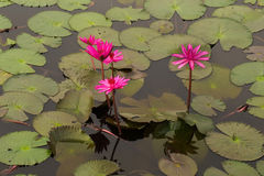 Rotes Lotus Lizenzfreie Stockfotografie