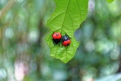 Rotes Marienkäfer Coccinella-septempunctata auf dem Blatt Stockbilder