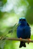Blauer Vogel Lizenzfreies Stockfoto