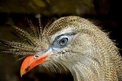 Rotes mit Beinen versehenes Seriema-Vogel-Nahaufnahme-Kopf-Porträt mit Haube Lizenzfreie Stockfotos