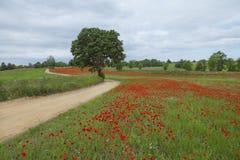 Rotes Mohnblume ` s Feld mit schönem Baum auf Vordergrund Lizenzfreie Stockfotografie
